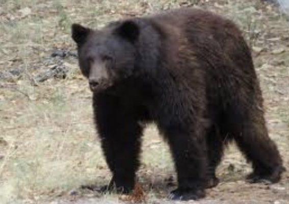 Black Bear Sighting in Prescott Valley